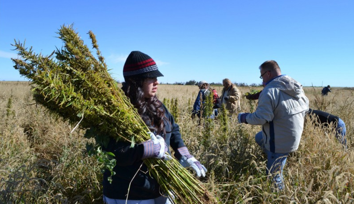 Volunteers harvest hemp at a farm in Springfield, Colo. in October 2013 in a during the first known harvest of industrial hemp in the U.S. since the 1950s. Expanded hemp growing will be happening in 2014 with the advent of state licensing. (P. Solomon Banda, Associated Press file)
